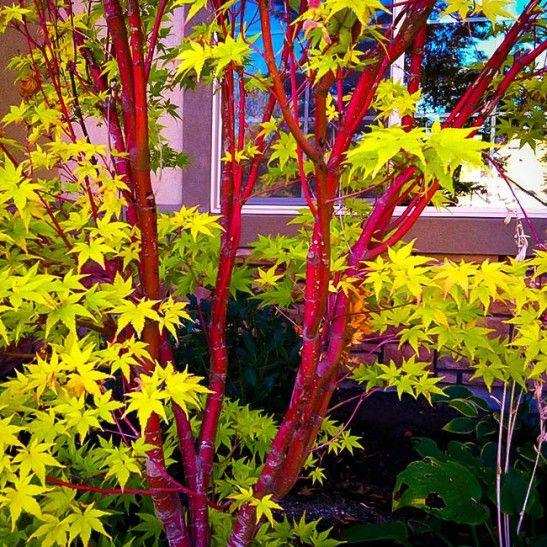 Coral Japanese Maple Tree Bark