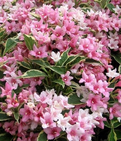 Weigela, can be grown as an informal hedge, butterfly and bee attracting plant.