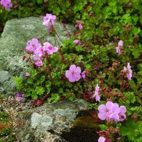 Dvärgnäva Geranium dalmaticum