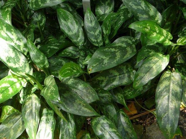 Аглаонема переменчивая (Aglaonema commutatum)