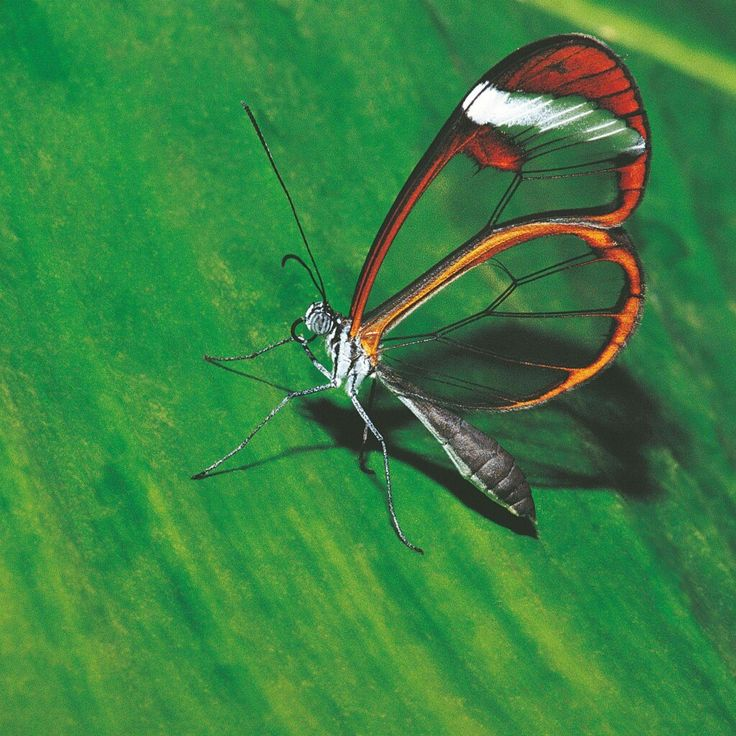Photo of the Day: A glasswing butterfly rests on a leaf.