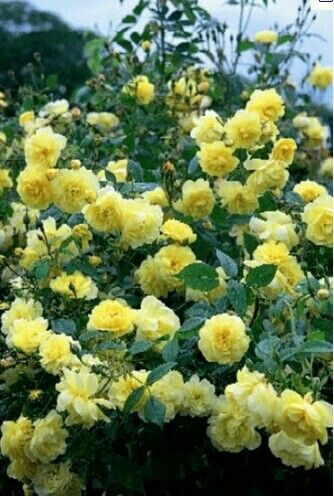 Yellow double knock out rose. Possibly under new birdfeeder or along outside of south fence. - **these are very pretty, but not sure yellow would complement the colors/look of our house as much as other colors???