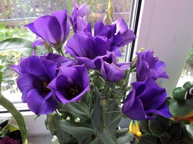 Эустома хорошо себя чувствует при сухом воздухе, поэтому дополнительного увлажнения цветку не требуется.