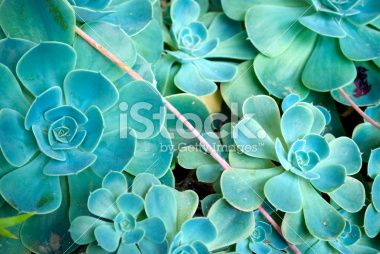 Sempervivum Background Royalty Free Stock Photo
