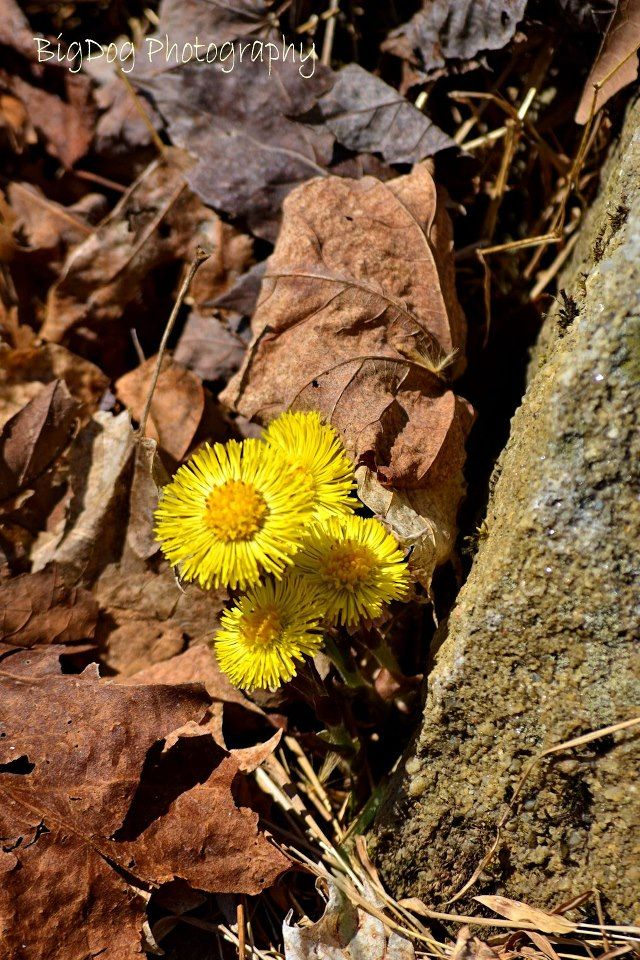 1000  images about west virginia wildflowers on pinterest