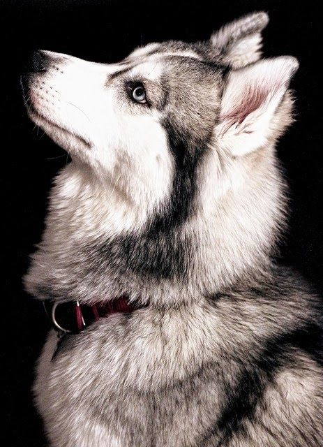 5 interesting facts about Siberian Huskies. Click the pic to know