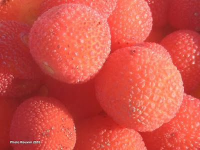 ΡΟΔΟΣυλλέκτης: Κούμαρο: Το γλύκισμα του δάσους!!
