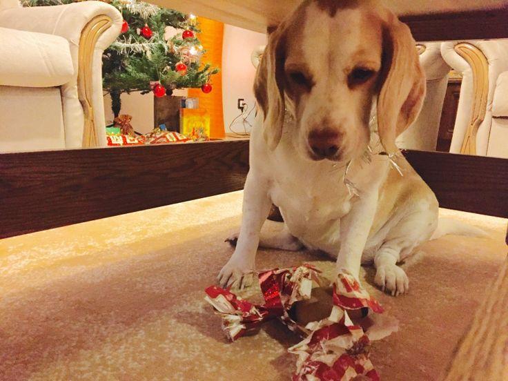 """Nevezz be te is beagle kutyádról készült, karácsonyi, vagy szilveszteri fényképeddel!Ha a fotódat a szerkesztők beválogatják a legjobbak közé...   Karácsonyi, Szilveszteri (Ünnepi) Beagle Fotópályázat #bchufotopalyazat2015 #beagle #kutya #beagleclub #szilveszter #buék """"Csak az asztal alatt jó ajándékot bontani"""" @jenny808 Karácsonyi (Ünnepi) Beagle Fotópályázat: http://bit.ly/beaglekaracsonyiunnepibeaglefotopalyazat KÉPEK: http://bit.ly/beagleclubhu-fp-kepek"""