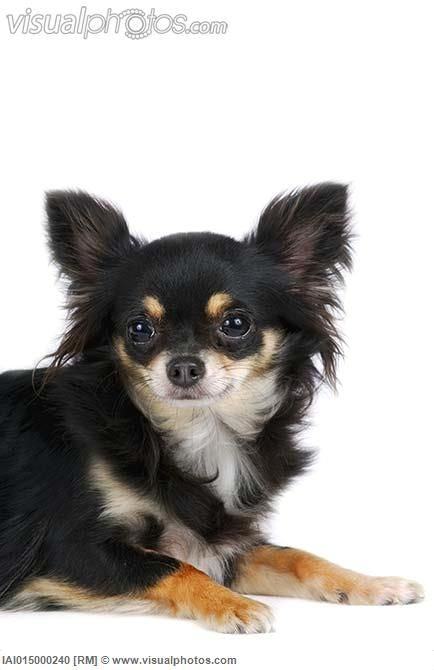 long haired chihuahua - Google Search