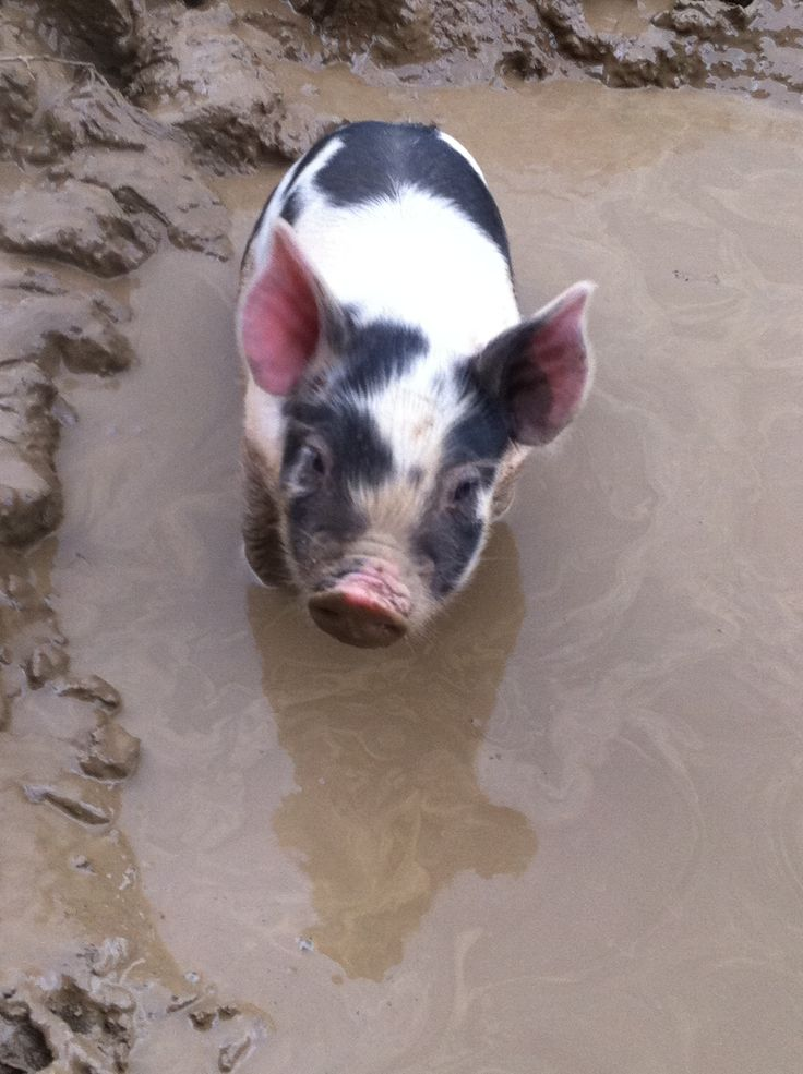 piglet loving the mud...Pigs don't sweat so they need to get mud on them to keep from burning.