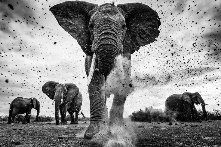 """Piece of Earth"" by Michael Fell: An elephant bull kicks debris at the camera in indignation. All that future generations shall inherit is dust and bones. My aim was to enchant my audience with intimate photographs of elephants that my message would haunt them forever. Man is responsible for such destruction of elephants and the future of these giant creatures and their habitat is in our hands. This image is presented at a critical time since the well being of elephants and their ..."