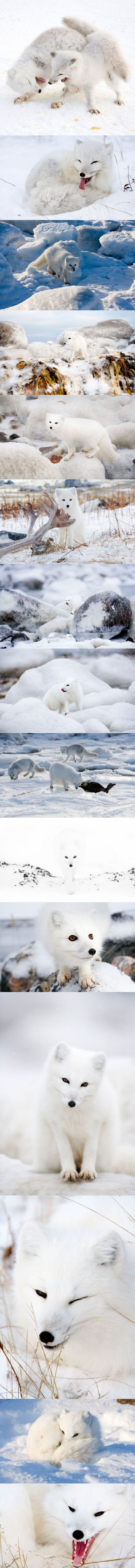 Artic Fox Play-Fight. Picture: Anna Henly / Barcroft USA