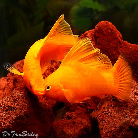 1000 images about freshwater aquaria on pinterest for Molly fish for sale