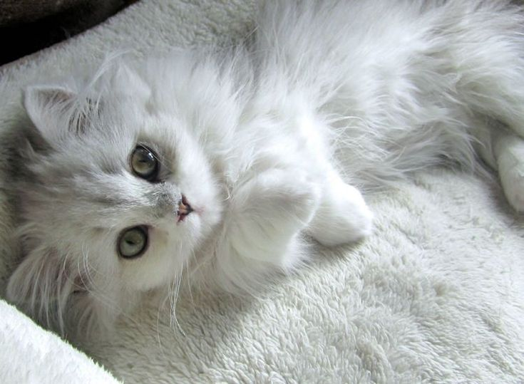En realidad el gato Angora es un gato poco común. Así es, no es fácil ver un gato angora, y en realidad mucha gente los confunde con otras razas de gatos . No es raro que la gente llame gato de Angora a persas o a casi cualquier gato de pelo largo, sin que éste sea un auténtico angora.