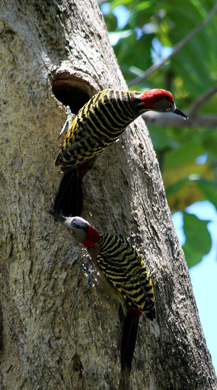 How A Woodpecker Drills Without Becoming Hopelessly Dizzy