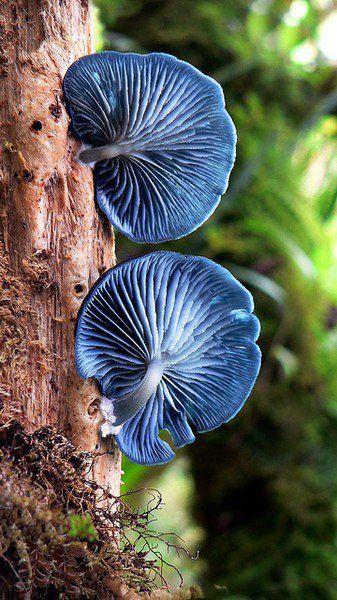 Impresionante  seta azul