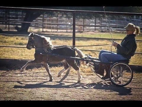 Miniature Horse Driving Training tips. Interesting video of how to keep them supple