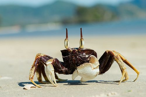 cool Ocypode ceratophthalma,  horned ghost crab - Krabi / Thailand Check more at http://www.discounthotel-worldwide.com/travel/ocypode-ceratophthalma-horned-ghost-crab-krabi-thailand/