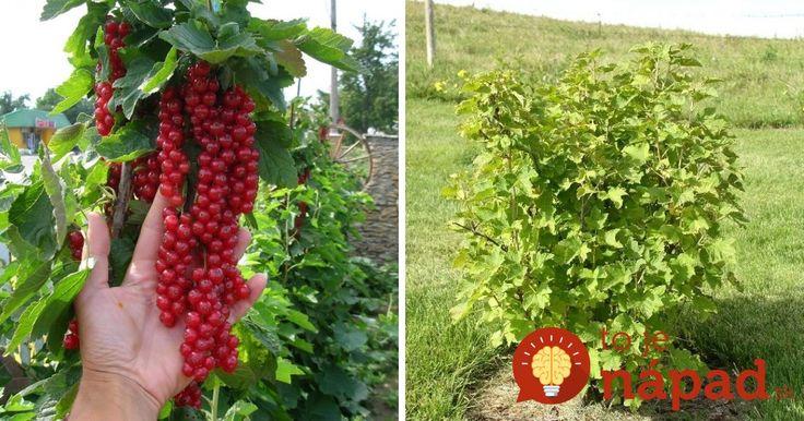 Rastlinkám treba pomôcť a jedine tak dokážete maximalizovať úžitok z nich v podobe bohatej úrody sladkých a chutných plodov.