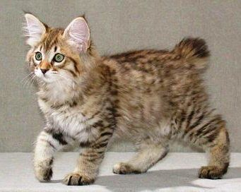 American Bobtail kitten! What a cutie! I love the lynx tipping on the ears and longer cheek fur, it really gives the cat a wild look.