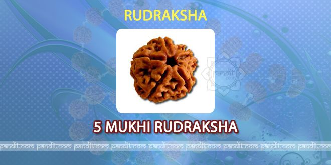 5 mukhi Rudraksh by Pandit Rahul Kaushal  ----------------------------------------------------------  It has 5 lines on it and is also names as kaaligin. It has Rudrojat, Ishaan, Tathpurash, Adhor, and Kaamvedh as 5 qualities of Lord Shiva in it. It helps in keeping heart healthy, and gives Peace to mind. It gives strength to person, increase age and gives good health. Due to its five qualities it is being considered as the best to give effective results…