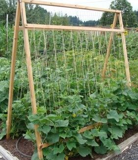 Do you let your cucumbers sprawl on the ground? Here are 5…