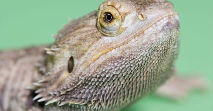 Cuánto vive un dragón barbudo del este. Los amantes de los reptiles que están interesados en tener un dragón barbudo del este en su casa deben familiarizarse con los métodos adecuados para cuidar a este tipo de lagarto. Los dragones barbudos bien cuidados y alimentados disfrutan una vida relativamente larga en comparación con otros reptiles domésticos: así que, antes de adoptar un ...
