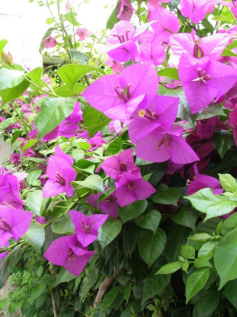 Bougainvillier Guglionesi, Molise, Italy by Panoraman, via Flickr