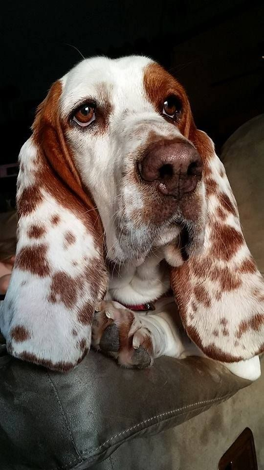 This is a great picture of a Basset Hound. Love the spots.