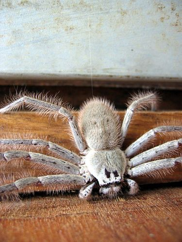 Huntsman Spider by Blue Sharpie, via Flickr