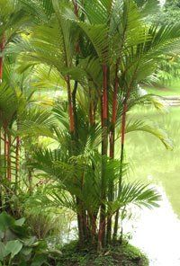 Lipstick Palm. These are fascinating, bordering on the edge of Asian or something. Where to put them...