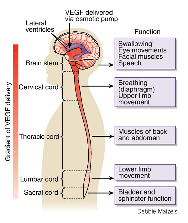 Brain Structure And Function Diagram 69 Mustang Wiring Image Result For What Connects The To Spinal Cord | Human Pinterest ...
