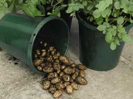 Growing Potatoes in Containers....Straightforward to grow and yielding buckets full of tubers, the potato crop is easily my most eagerly anticipated moment of the kitchen gardening year.....