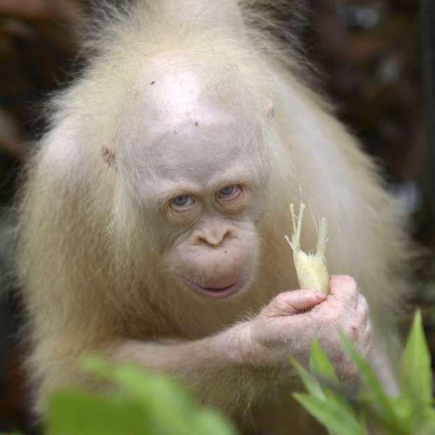 Albino Orangutan, Kalimantan Island, Indonesia.