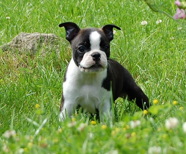 american bulldog puppies black and white | Zoe Fans Blog
