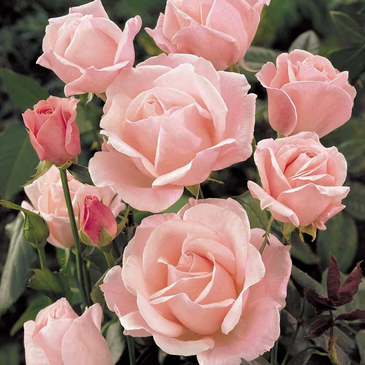rose 39 queen elizabeth 39 floribunda rose my roses pinterest. Black Bedroom Furniture Sets. Home Design Ideas