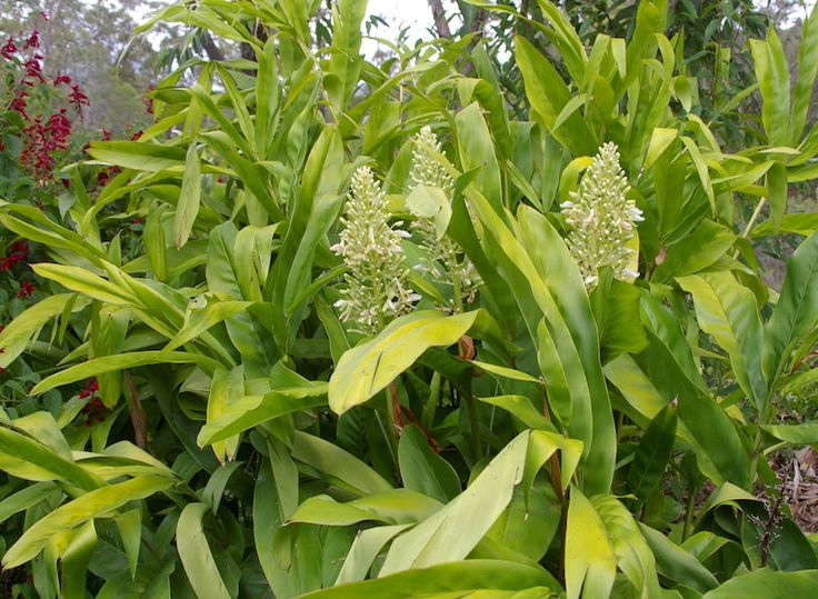 Image result for Alpinia galangal