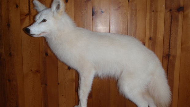 A taxidermied white coyote on display at the Salmonier Nature Park.