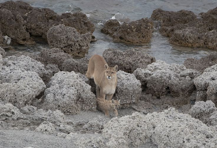 https://flic.kr/p/PpxKSQ | Chile | Chile. Puma with cub in Torres del Paine National Park.