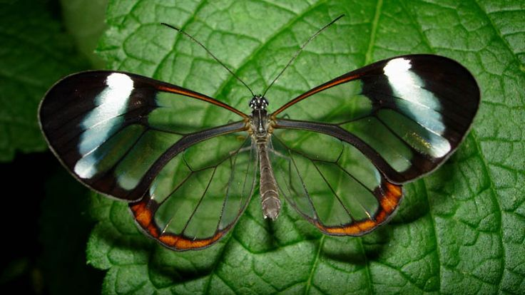 glasswinged butterfly top view