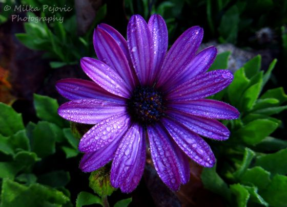 Dark purple aster flower with raindrops -  Need a good purple for my tattoo - this is glorious!