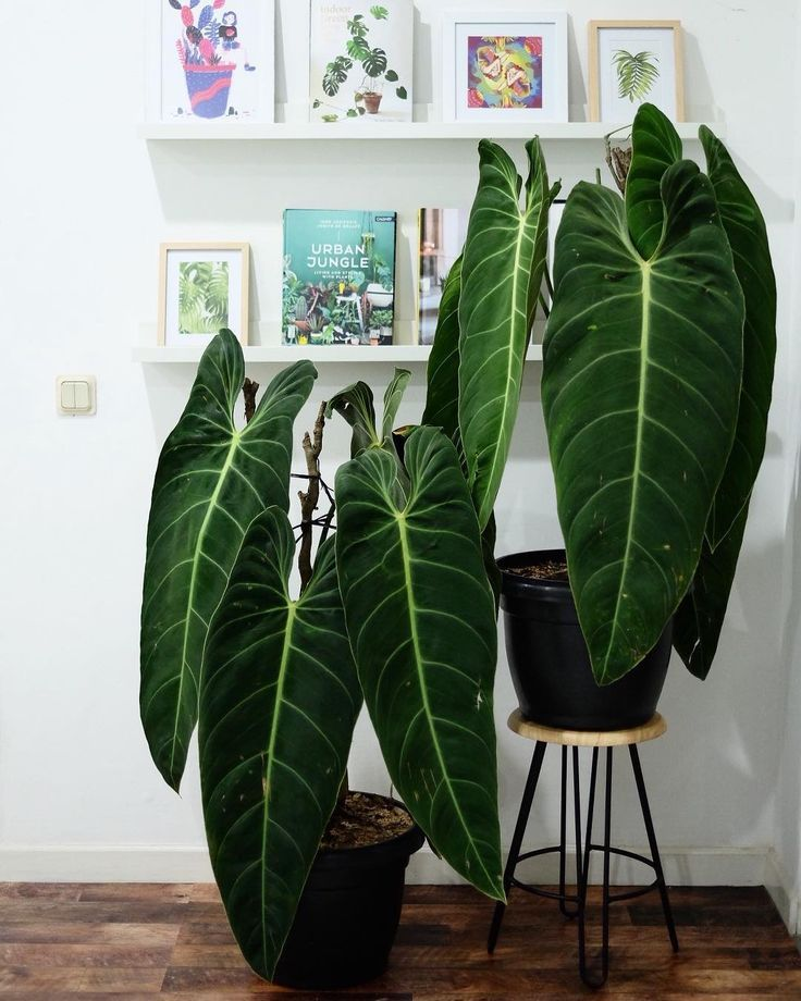 Philodendron melanochrysum. My what big foliage you have!