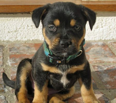 Rottweiler Pit Mix | Juno the Rottweiler Mix Pictures ...