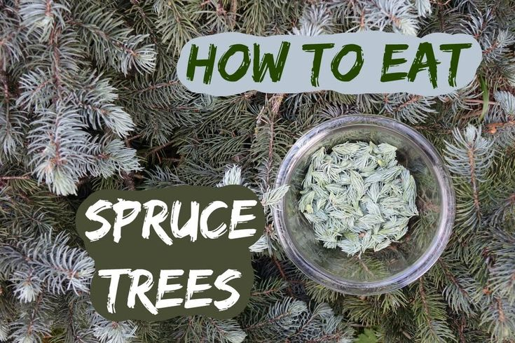 How to eat a spruce tree: picking and using spruce tips