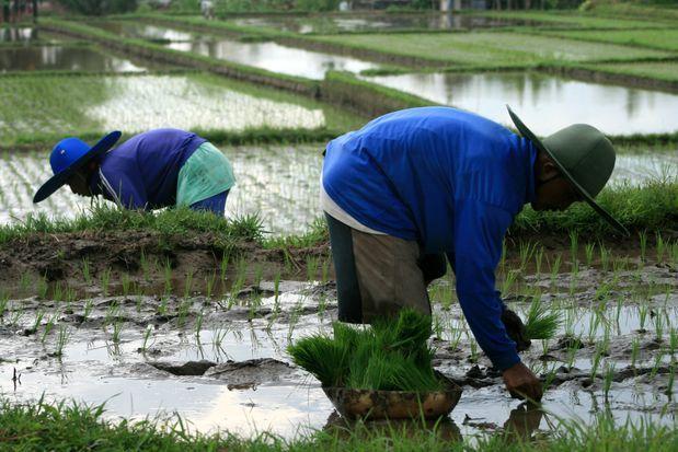Rice farmers in Ubud (Bali. Indonesia.)   Planteurs de riz à Ubud (Bali. Indonésie)   Cultivadores de arroz en Ubud (Bali. Indonesia)