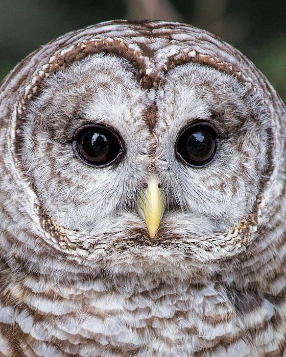 Barred Owl Close Up-saw one outside our cabin