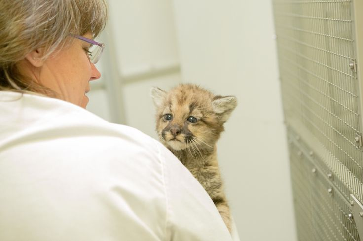 A tiny, orphaned Cougar cub has briefly taken up residence behind the scenes at the Oregon Zoo's veterinary medical center