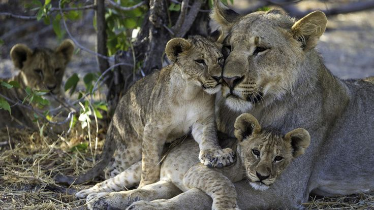 Lioness and cubs at Etosha National Park #luxurytravel #namibia