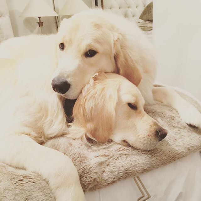 Share with your best friend and let them know they've always got a friend in you #jamestaylor  Photo by @macgyverandsawyer by goldens_glee #lacyandpaws #goldenretriever #goldenretrieverpuppy #goldenretrievers #goldenretrieversofinstagram #goldenretrieverpuppies #goldenretrieverworld #goldenretrievermix #goldenretrieverlove