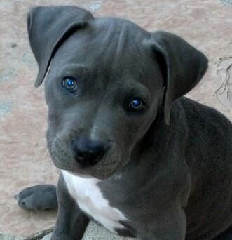 My sweet blue staffy